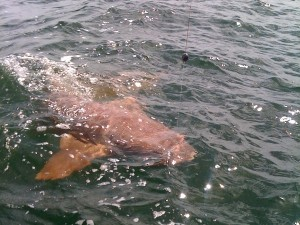 Tampa Nurse Shark